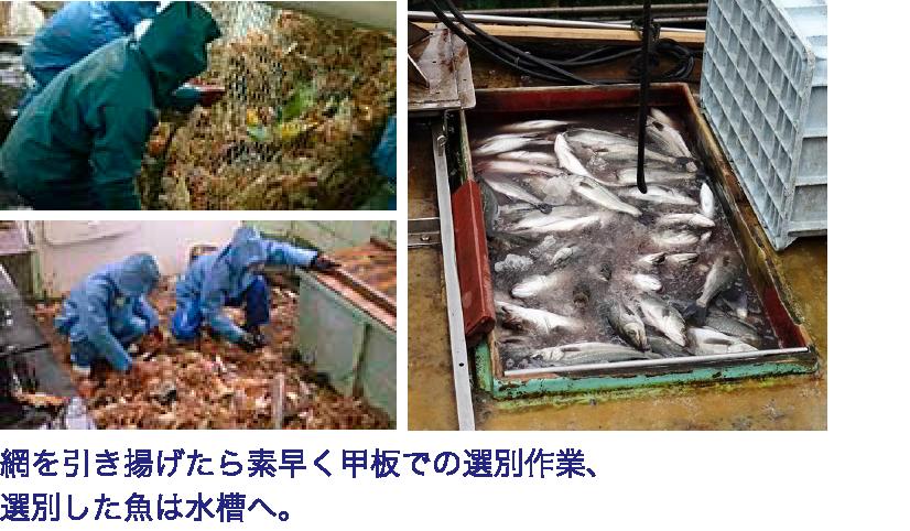 網を引き揚げたら素早く甲板での選別作業、選別したカニ・魚は水槽へ